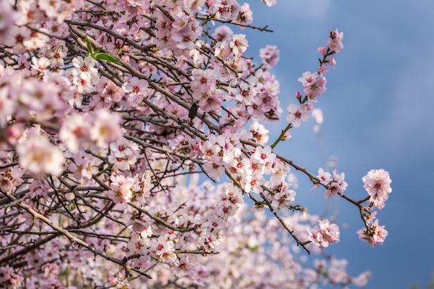 Kirschblüte, blühender sakura-baum, rosa blüten