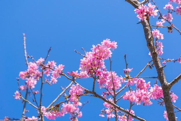 Kirschblüte blüht auf der niederlassung mit blauem himmel während des frühlinges