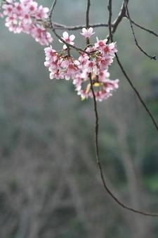 Kirschblüte, chiang mai, thailand