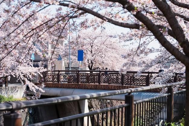 Kirschblüte entlang yamazaki-fluss, nagoya