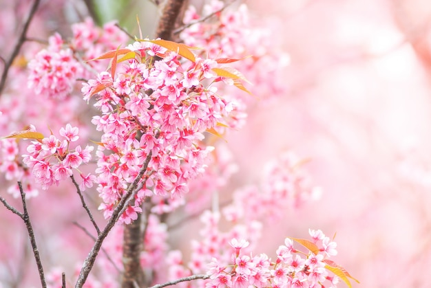 Kirschblüte im frühjahr mit weichzeichnung