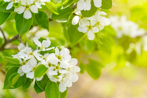 Kirschblüte im frühjahr