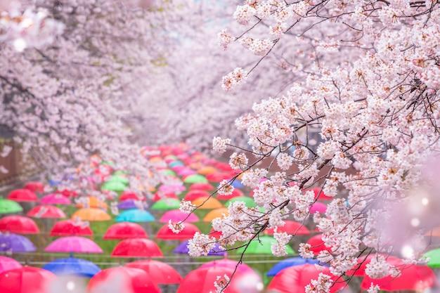 Kirschblüte im frühling in korea ist der beliebte aussichtspunkt für kirschblüten, jinhae südkorea.