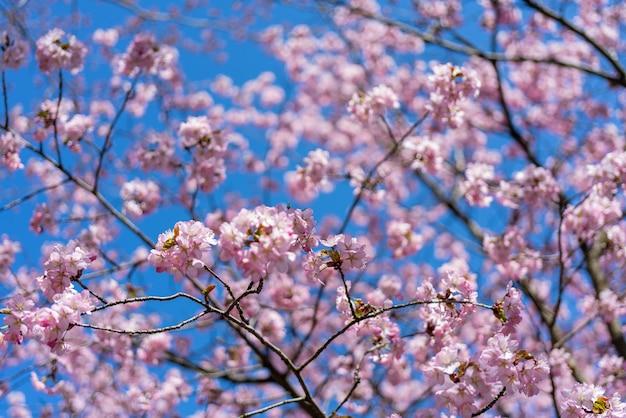 Kirschblüte im frühling. schöner rosa blumenhintergrund.