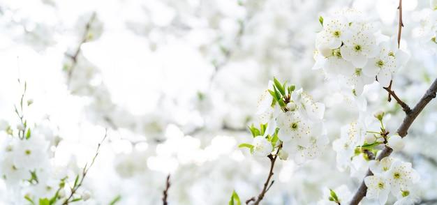 Kirschblüte im frühling. schöner weißer blumenhintergrund.