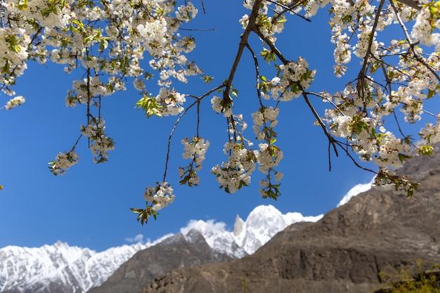 Kirschblüte im garten bei lady finger und hunza-gipfel mit schnee. hunza-tal, gilgit-baltistan, pakistan.