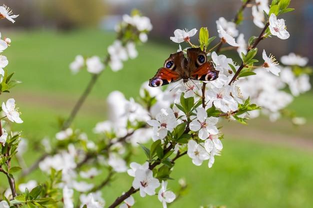 Kirschblüte im garten im frühjahr und schmetterling drauf