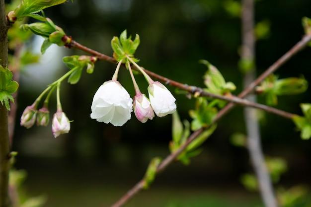 Kirschblüte in voller blüte. kirschblüten in kleinen büscheln auf einem kirschbaumzweig, die in weiß übergehen. geringe schärfentiefe. konzentrieren sie sich auf die mittlere blumentraube.