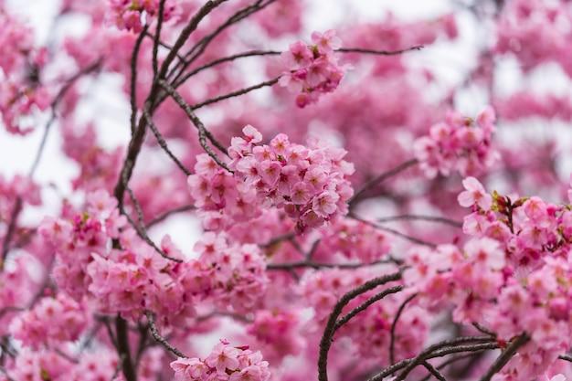 Kirschblüte, jahreszeit der kirschblüten-blume im frühjahr