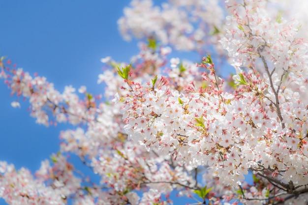 Kirschblüte kirschblüte des selektiven fokus in japan mit unscharfem hintergrund des blauen himmels