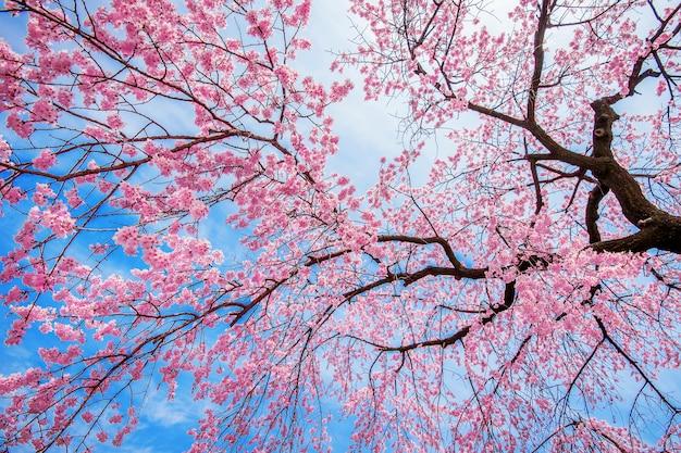 Kirschblüte mit weichzeichner, sakura-saison im frühjahr.