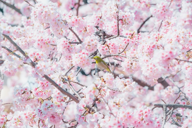 Kirschblüte, rosa kirschblüte in japan auf frühlingsjahreszeit.