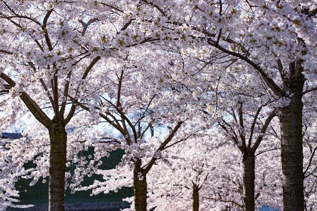 Kirschblüte (sakura) im langelinie park. kopenhagener sakura festival