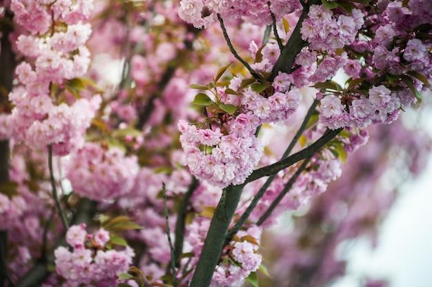 Kirschblüte. sakura.