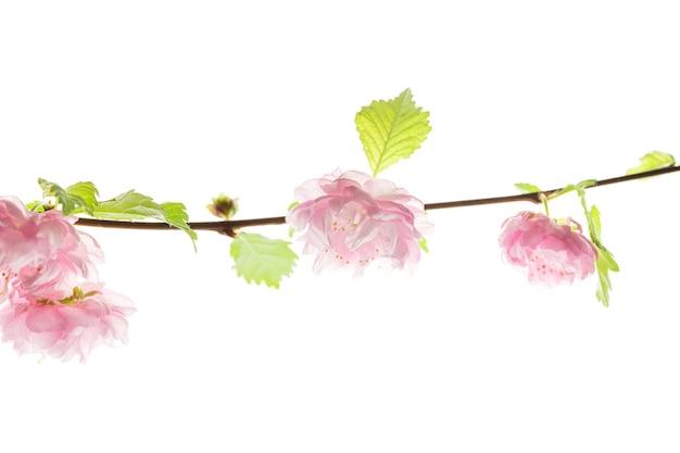 Kirschblüte, sakurablumen lokalisiert auf weißem hintergrund