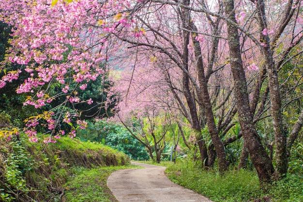 Kirschblüte und sakura auf der straße
