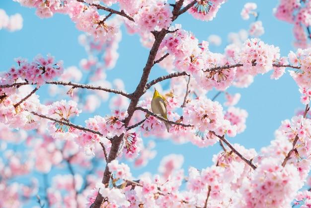 Kirschblüte und vogel, rosa kirschblüte in japan auf frühlingsjahreszeit.