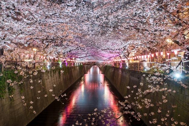 Kirschblüte zeichnete meguro canal nachts in tokyo, japan.