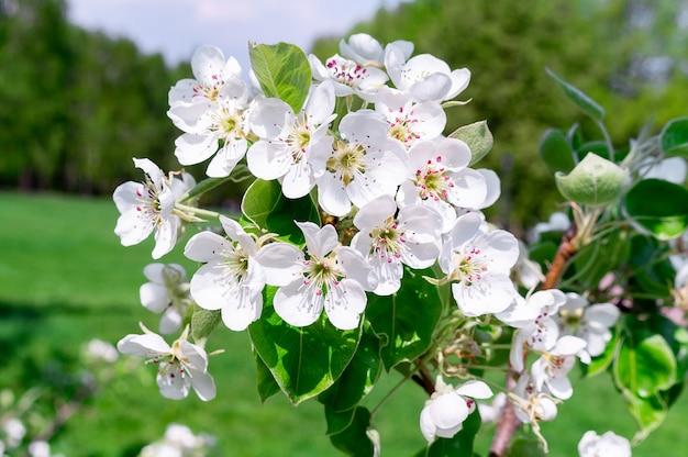 Kirschblüten baum