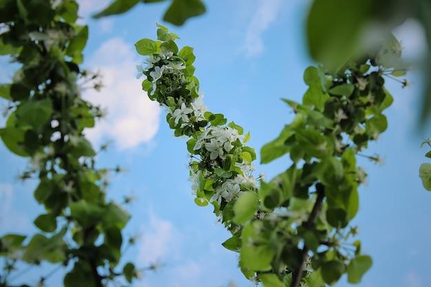 Kirschblüten blüht auf einem unscharfen hintergrund mit bokeh-nahaufnahme, selektiver fokus. mai blühen.