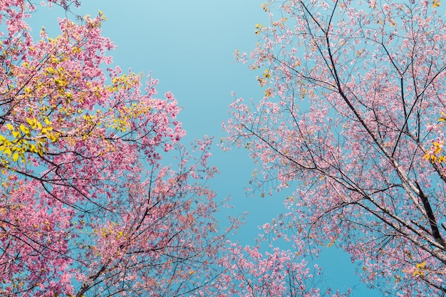 Kirschblüten, blüten eines kirschrosa blütenbaums