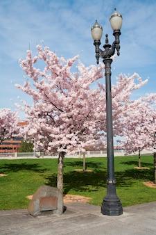 Kirschblüten im waterfront park