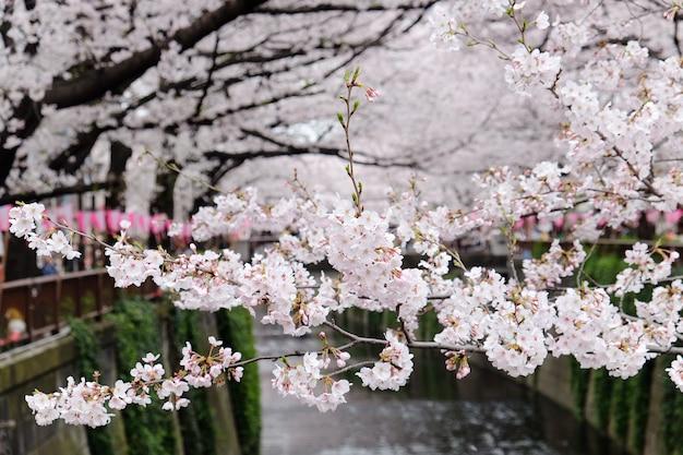 Kirschblüten in meguro fluss