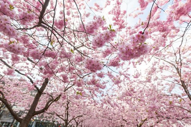 Kirschblüten in stockholm bei kungstradgarden