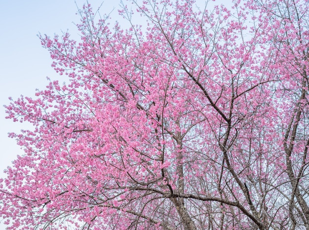 Kirschblüten in thailand