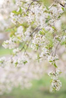 Kirschblüten über unscharfer natur. frühlingsblumen.