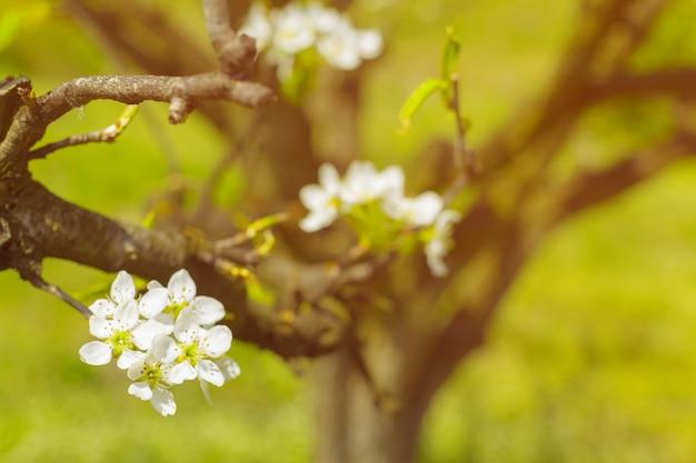 Kirschblüten über unscharfer natur
