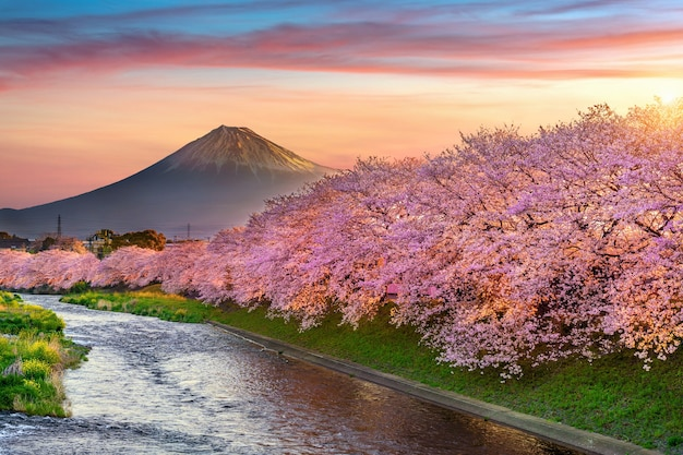 Kirschblüten und fuji-berg im frühjahr bei sonnenaufgang, shizuoka in japan.