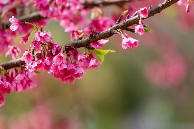 Kirschblüten- und sakura-baum