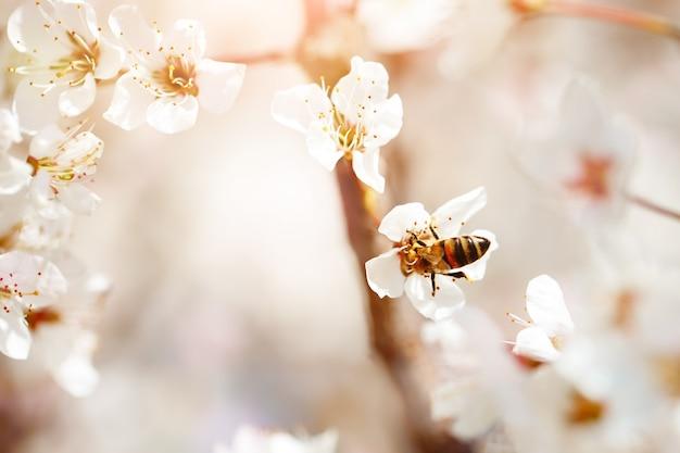 Kirschblütenbaum im frühjahr mit schönen blumen. gartenarbeit. tiefenschärfe.