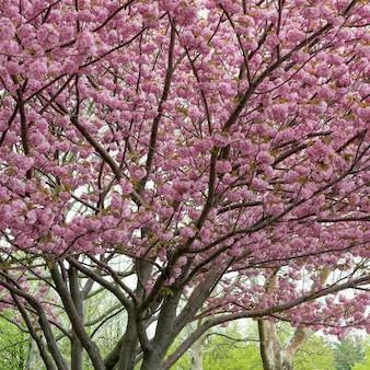 Kirschblütenbaum, liberty island, manhattan, new york city, staat new york, usa