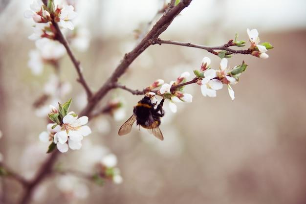 Kirschblütenbaum und hummel auf zweig