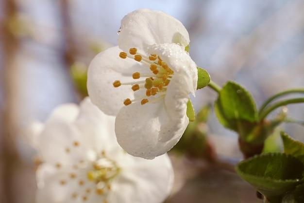Kirschblütenblüten mit tau drauffrisches frühlingslaubsonnenstrahl auf der rückseite