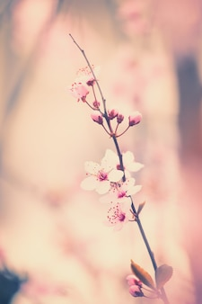 Kirschblütenblüten