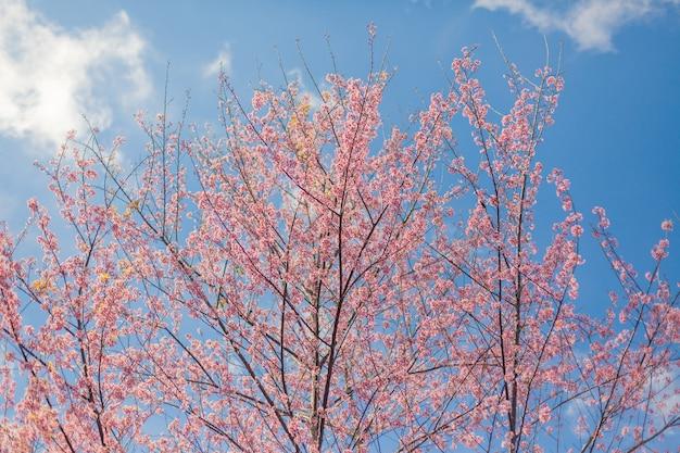 Kirschblütenblume und -himmel bewölkt sich für natürlichen hintergrund.