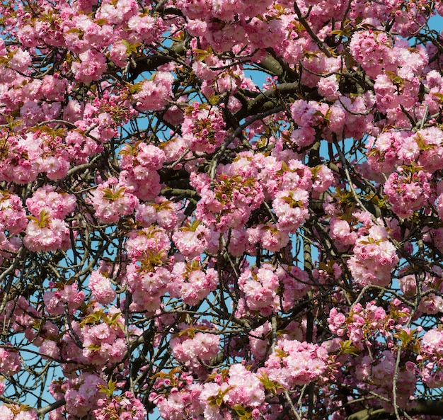 Kirschblütenzweig mit schönem weichem naturhintergrund.