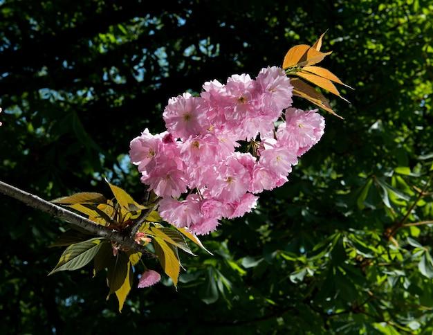 Kirschblütenzweig mit schönem weichem naturhintergrund. Premium Fotos