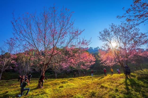 Kirschblume prunus cerasoides oder wilde himalajakirsche, blume des riesigen tigers in phu lom lo, phetchaboon, thailand 3. februar 2019