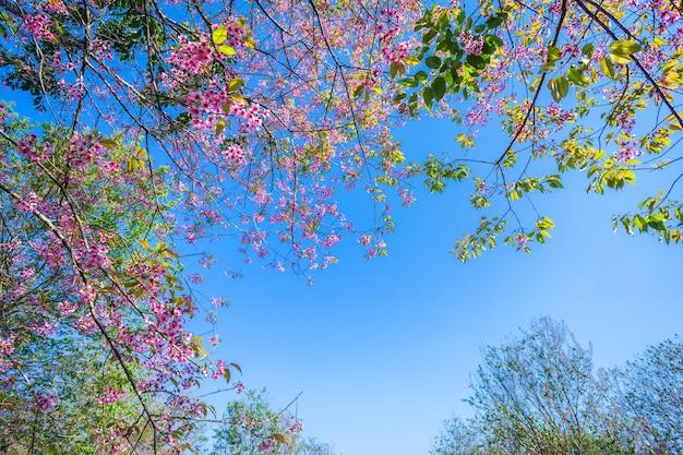 Kirschblume prunus cerasoides oder wilde himalajakirsche, riesige tigerblume in phu lom lo, phetchaboon, thailand.