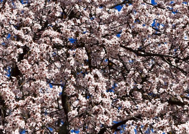 Kirsche blühte im frühjahr im botanischen garten.