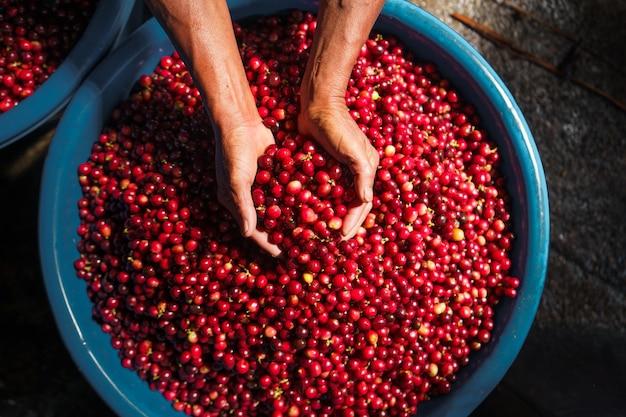 Kirschkaffeebohnen, roter kaffee im sack und auf der hand