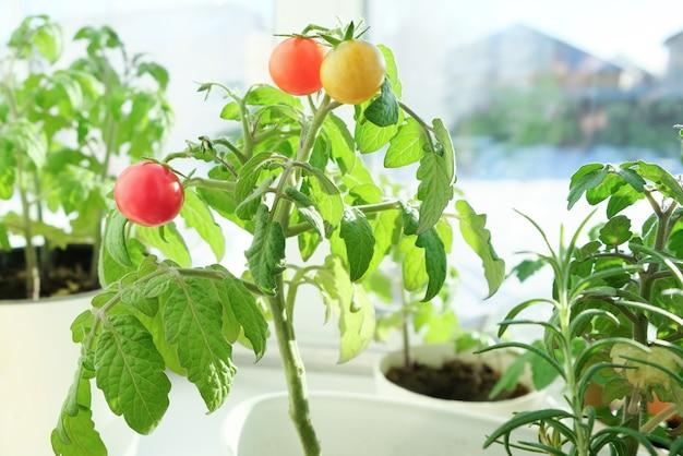 Kirschtomaten und rosmarin wachsen in einem topf in einem hausgarten, in der hand eines mädchens.