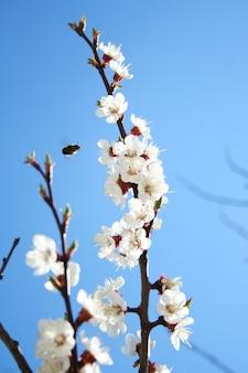 Kirschzweig in voller blüte