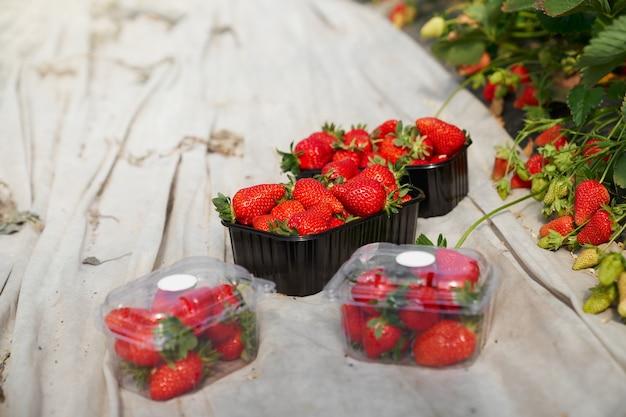 Kisten mit frischen reifen erdbeeren im gewächshaus arrangiert