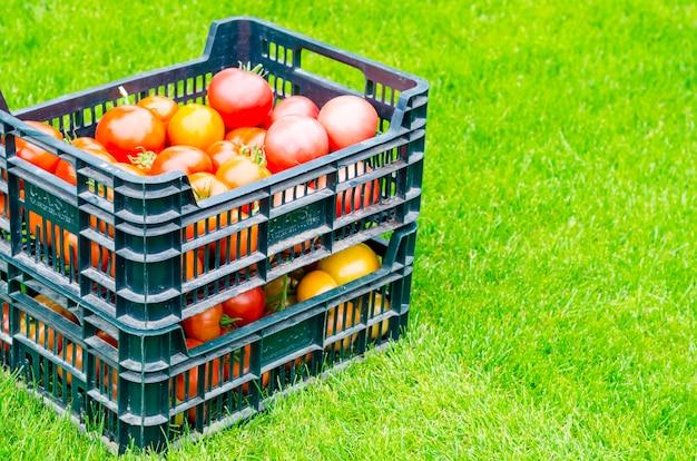 Kisten mit reifen tomaten stehen auf dem gras und ernten, sommer
