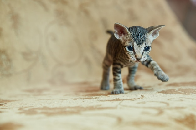 Kitten don sphynx schaut in den rahmen.